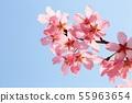 분홍벚꽃 55963654