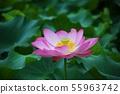 만개한 분홍연꽃 55963742