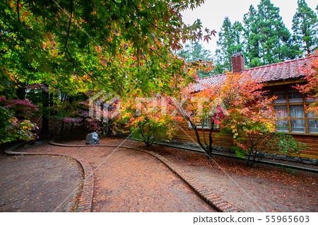 臺灣臺中福壽山武陵農場楓葉Taiwan Taichung Mountain Maple Leaf 55965603