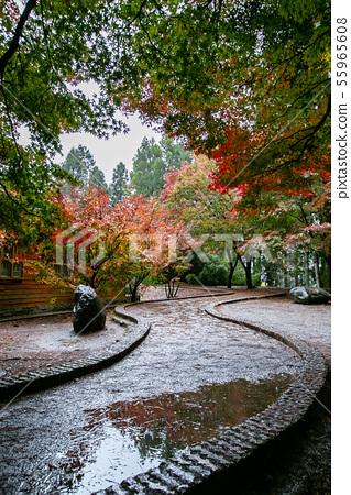 臺灣臺中福壽山武陵農場楓葉Taiwan Taichung Mountain Maple Leaf 55965608