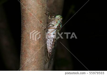 쓰르라미 수컷 한여름 우는 벌레 55979503