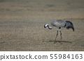 Common crane. 55984163