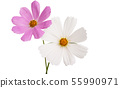 cosme flower isolated 55990971