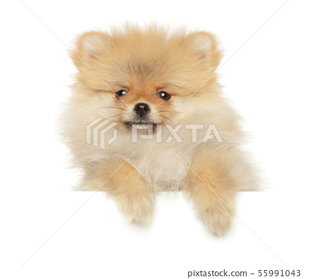 Pomeranian Spitz puppy above white banner 55991043