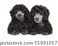 Two gray Toy Poodle puppies on white background 55991057