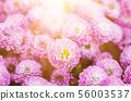 Chrysanthemum macro flowers 56003537