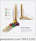 Foot Bone Anatomy Vector Illustration 56013202
