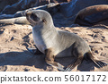 Great colony of Cape fur seals at Cape cross in 56017172