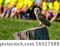 The western barn owl, Tyto alba in a nature park 56027988
