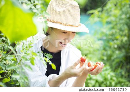 여성 수확 토마토 밭 56041759