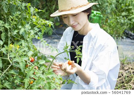 女性收穫蕃茄領域 56041769