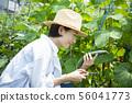 여성 밭 수확 오이 오이 오이 56041773