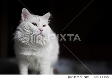 A beautiful white cat is standing on the bed and looking forward with interest and curiosity 56043490