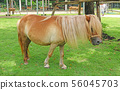 a little horse on a grass field in a farm 56045703