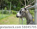a goat in a outdoor farm 56045705