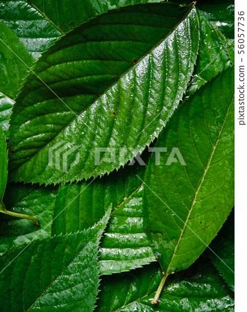 여름 잎사귀 배경, 잎사귀와 물방울  56057736