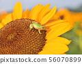 向日葵和青蛙 56070899