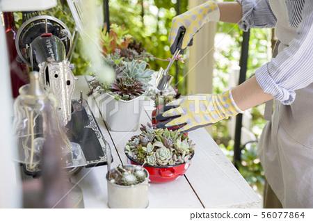 園藝圖像種植多肉植物的女性手 56077864