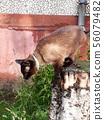 Thai cat sits on a high stump among 56079482
