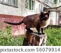 Thai cat sits on a high stump among 56079914