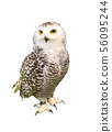 Portrait of Owl with clipping path.  56095244