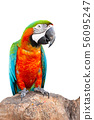 Macaw parrot with cliping path.  56095247