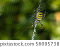 spider, cobweb, wasp spider 56095738
