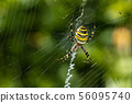 spider, cobweb, wasp spider 56095740