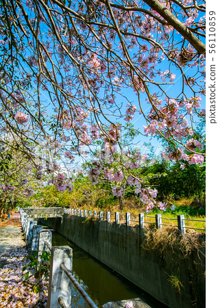 臺灣燕巢風鈴木Taiwan Kaohsiung Yanchao Pink Trumpet Tree 56110859