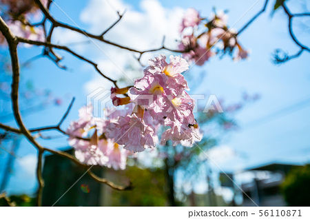 臺灣燕巢風鈴木Taiwan Kaohsiung Yanchao Pink Trumpet Tree 56110871