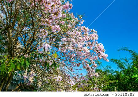 臺灣燕巢風鈴木Taiwan Kaohsiung Yanchao Pink Trumpet Tree 56110885