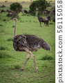 Female common ostrich walking over short grass 56115058