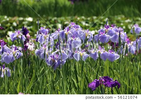 꽃 창포 56121074