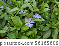 Spring perennial carpeted flowers, periwinkle with 56165609