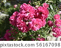 Wet pink roses with drops of dew. Outdoor 56167098