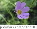 Cosmos flower in summer garden. 56167103