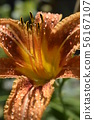 Orange lily on a green background 56167107