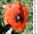 poppy in the garden 56171130