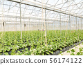 Young cantaloupe growing in a greenhouse farm 56174122