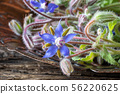 Fresh blooming borage plant on a table 56220625