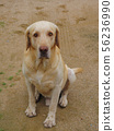 Labrador dogs are characterized by large and loyal 56236990