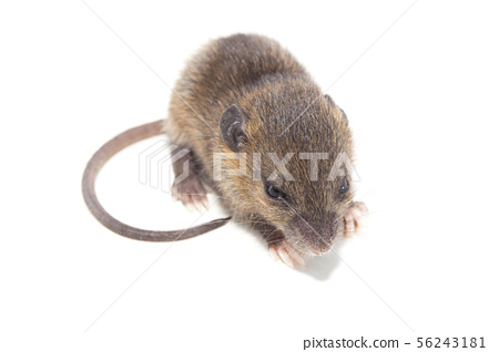 Rat isolated on white background. 56243181