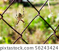 a wasp-like spider sitting on a grid 56243424