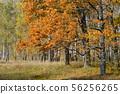 Golden autumn in deciduous forest 56256265