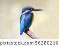 Common Kingfisher with fish (Alcedo atthis)  on 56280210