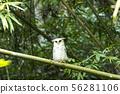 Owl, Spot-bellied Eagle Owl (Bubo nipalensis)  56281106