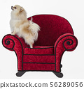 Pomeranian on Red Chair 56289056