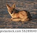 Jackal sits on the sand, looking at photographer 56289640
