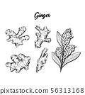 Ginger and flower blossoming plant spice set. Botanical vector illustration 56313168