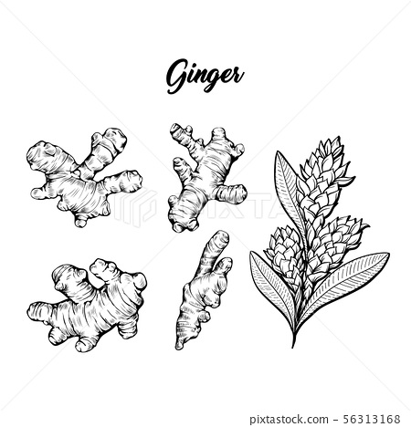 Ginger and flower blossoming plant spice set. Botanical vector illustration 56313168
